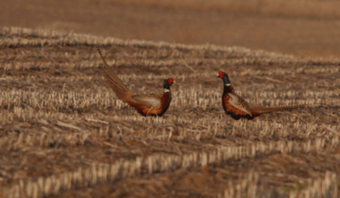 Pheasant hunters gearing up for highly anticipated season opener